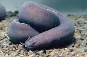 I have become an expert on the hagfish, also known as the slime eel.