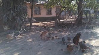 The house with the chickens